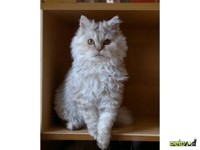 Продаю: Котята селкирк рекс (кошки-овечки) фото2