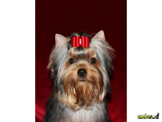 Продаю: Продается подрощенный щенок йорка фото3