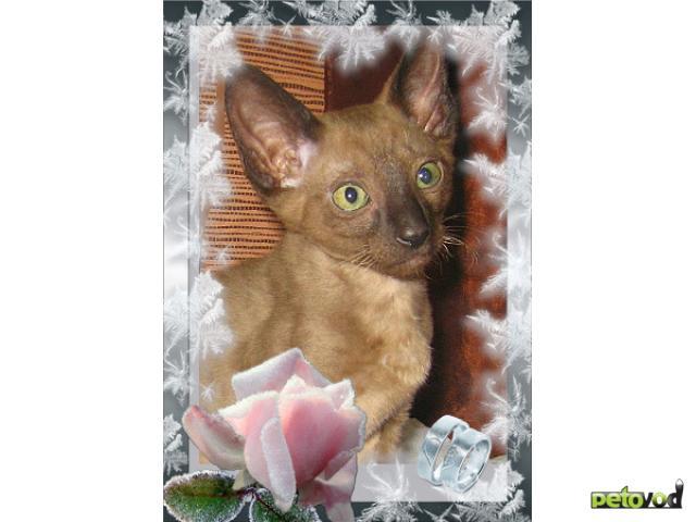 Продаю: корниш рекс, котенок окраса шоколадный минк  фото2