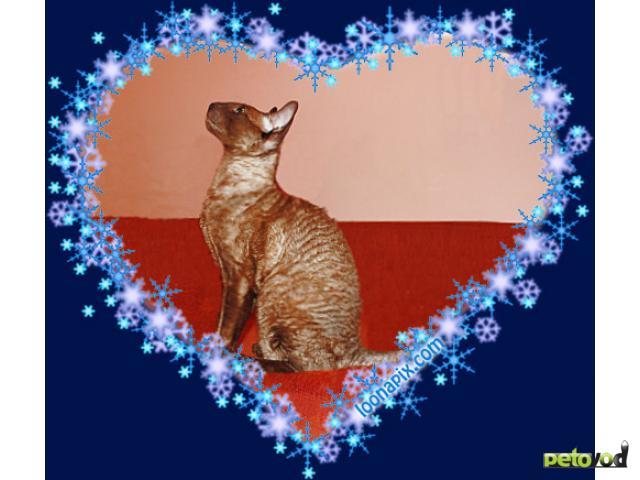 Продаю: корниш рекс, котенок окраса шоколадный минк  фото3