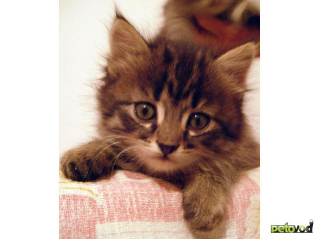 Отдам в дар: Пушистый дымчатый котенок