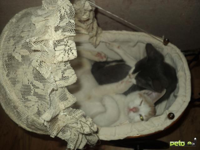 Отдам в дар: Отдам в дар двух котят фото3
