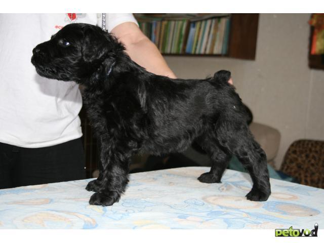Продаю: русский черный терьер щенки фото2