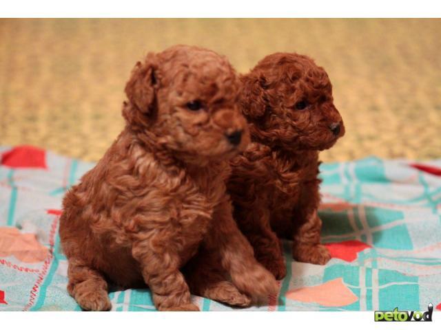Продаю: Той-пудель щенки, вязка фото2