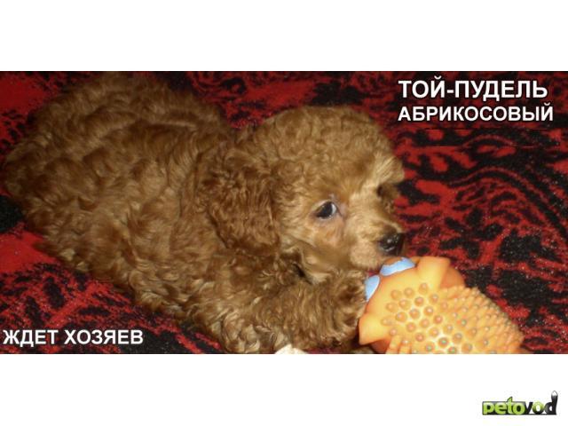 Продаю: Той-пудель щенки, вязка фото3
