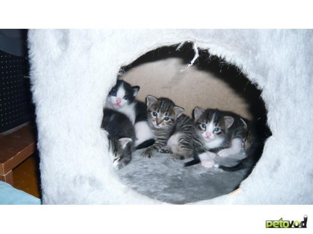Продаю: продам котят фото2