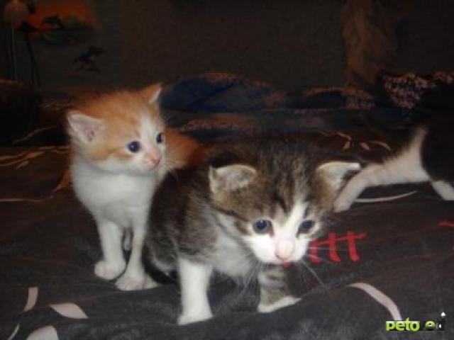 Отдам в дар: Очаровательные пушистые котята фото2