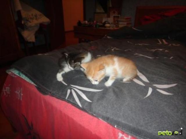 Отдам в дар: Очаровательные пушистые котята фото3