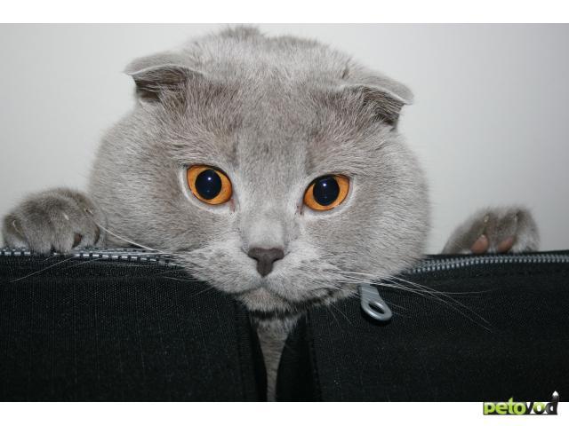 Вязка: Шотландский кот для вязки, за котенка