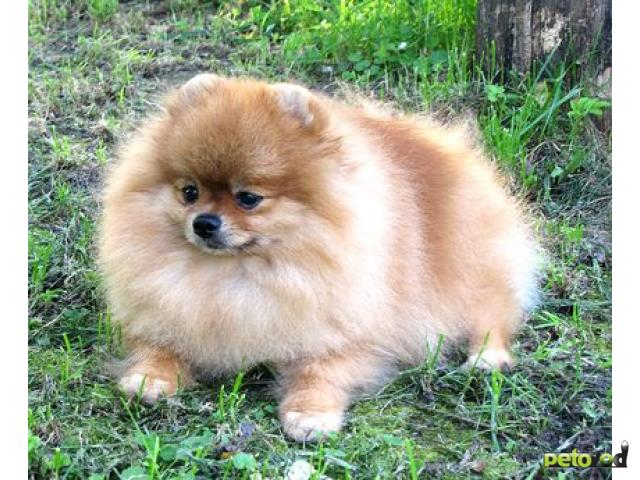 Продаю: Шпиц померанский щенки