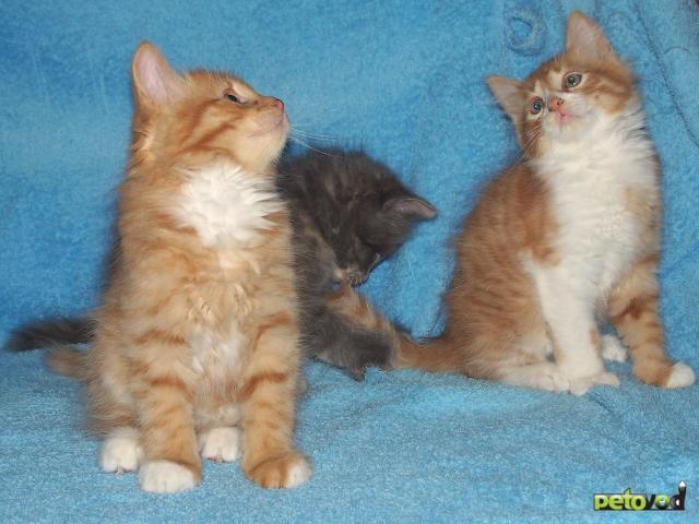Отдам в дар: Чудесные двухмесячные котятки фото2