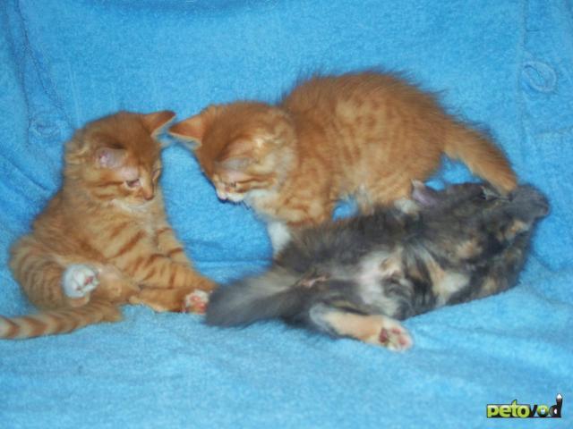 Отдам в дар: Чудесные двухмесячные котятки фото3