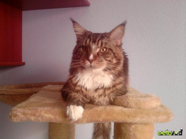 Вязка: Вязка с котом мейн кун