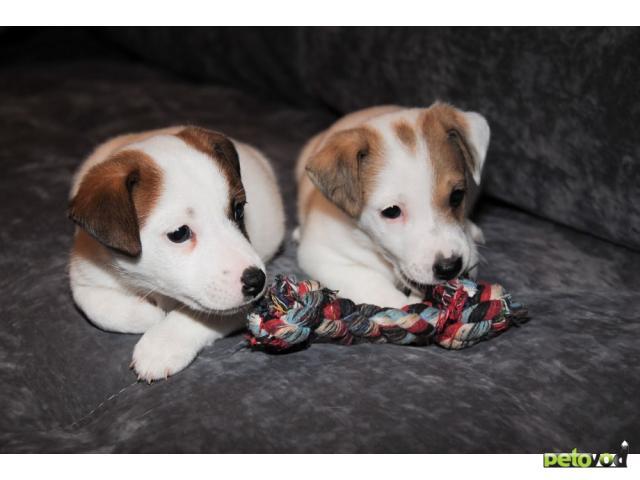 Продаю: тся клубные щенки Джек Рассел терьера  фото3