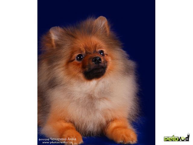 Продаю: тся щенка малого шпица фото3