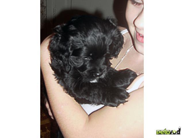 Продаю: тся щенки американского кокера спаниеля фото2