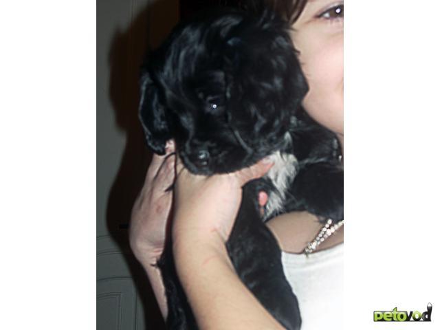 Продаю: тся щенки американского кокера спаниеля фото3