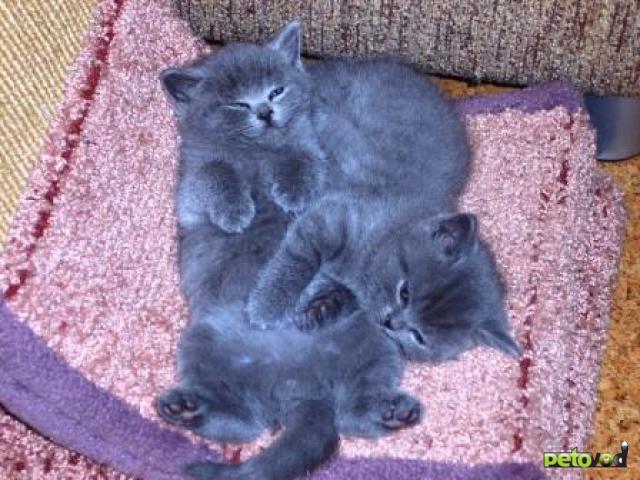 Продаю: британские котята – мальчики голубого окраса