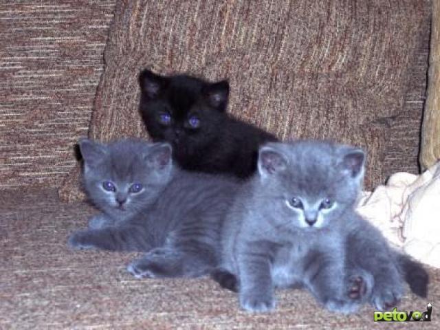 Продаю: британские котята – мальчики голубого окраса фото2