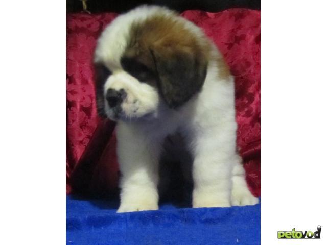 Продаю: Сенбернара щенки  фото2