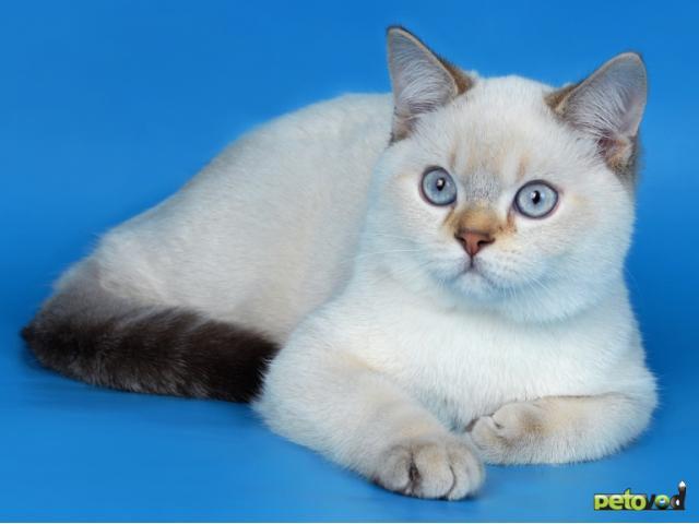Продаю: Британские котята эксклюзивных окрасов