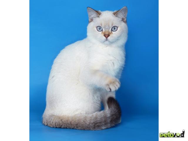 Продаю: Британские котята эксклюзивных окрасов фото2