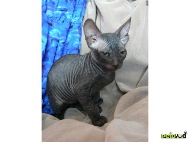 Продаю: котята ищут нового доброго хозяина фото2