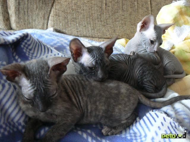 Продаю: котята ищут нового доброго хозяина фото3
