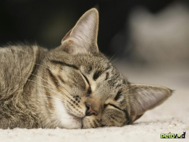 Половой цикл и течка у кошки