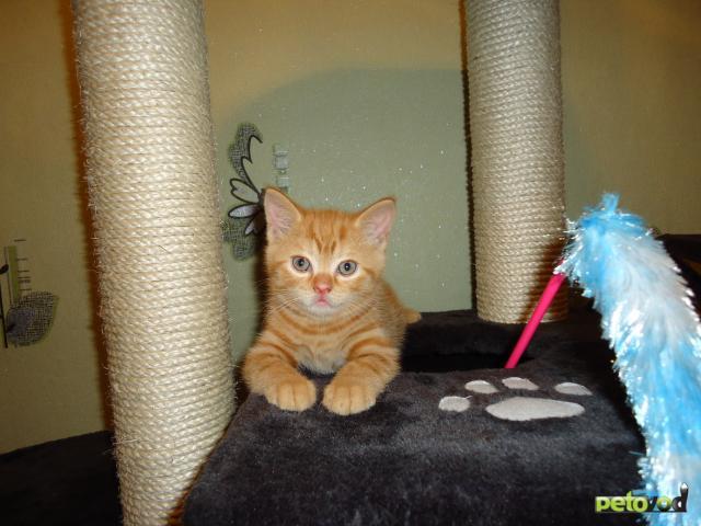 Продаю: Британские короткошерстные котята