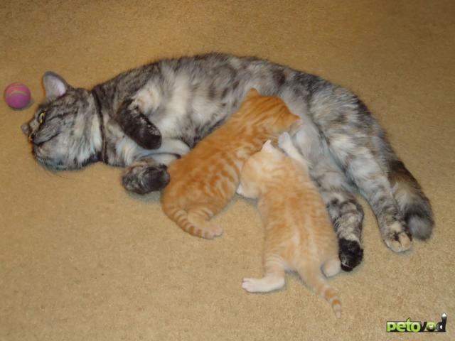 Продаю: Британские короткошерстные котята фото3
