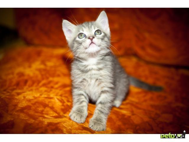 Продаю: Британские Мраморные Котята фото2