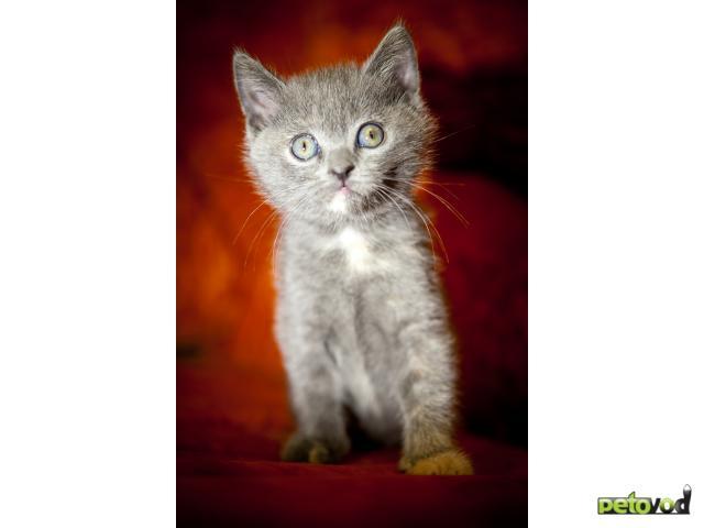 Продаю: Британские Мраморные Котята фото3