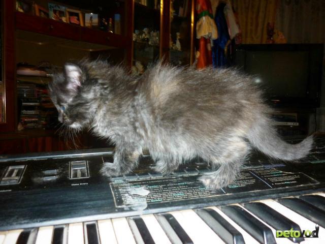 Отдам в дар: Пушистые кошечки-крошечки от цирковой кошки