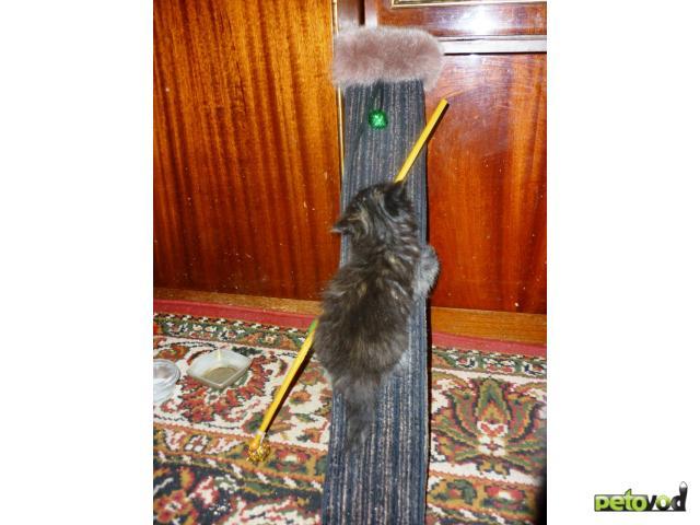 Отдам в дар: Пушистые кошечки-крошечки от цирковой кошки  фото2