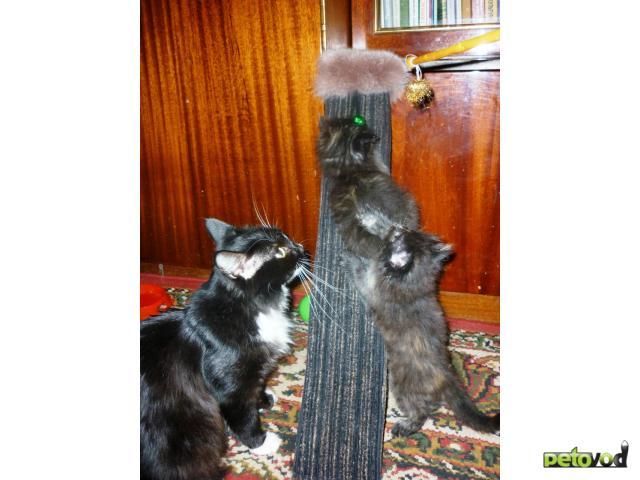 Отдам в дар: Пушистые кошечки-крошечки от цирковой кошки  фото3