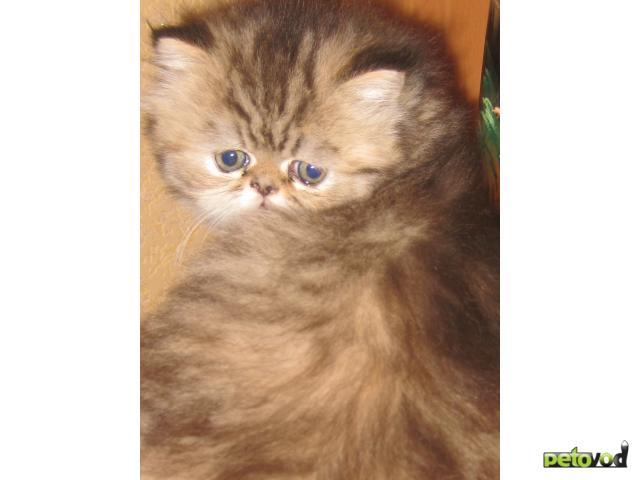 Продаю: продажа персидских котят