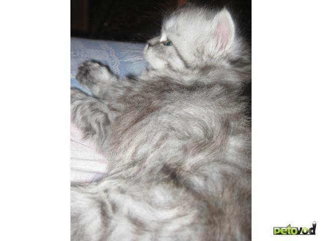 Продаю: продажа персидских котят фото2