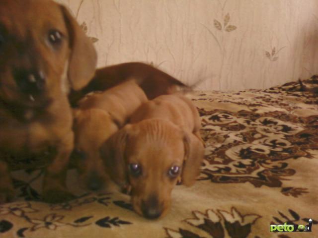 Продаю: щенки таксы фото2