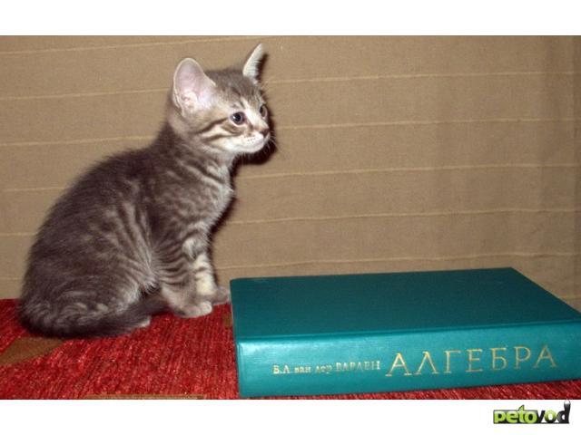 Отдам в дар: Котята от сибирской кошки и русского голубого кота