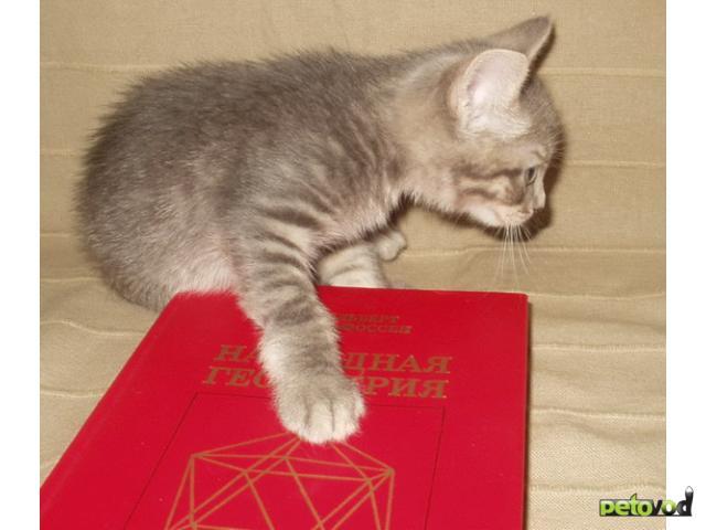 Отдам в дар: Котята от сибирской кошки и русского голубого кота фото2