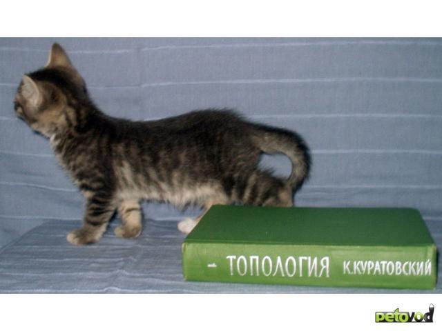 Отдам в дар: Котята от сибирской кошки и русского голубого кота фото3