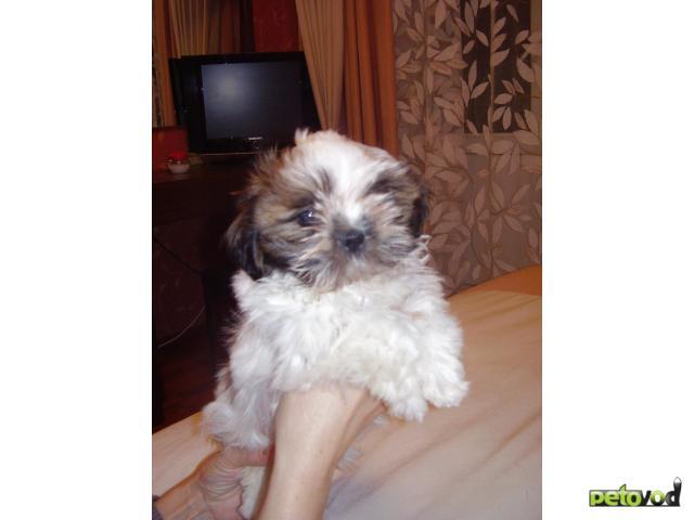 Продаю:  щенка ши тцу