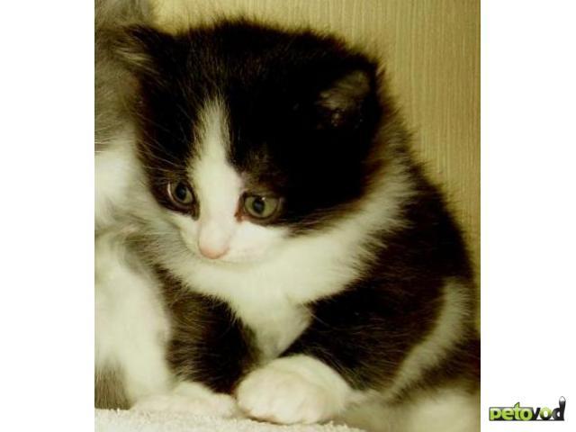 Отдам в дар: Будет шикарный кот
