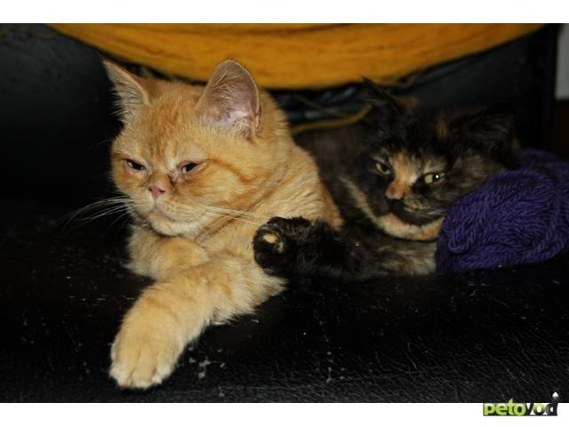 Продаю: персидские и полуперсидские котята 1мес и 5мес
