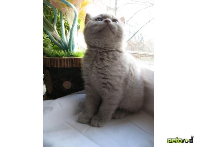 Продаю: Британские плюшевые котята