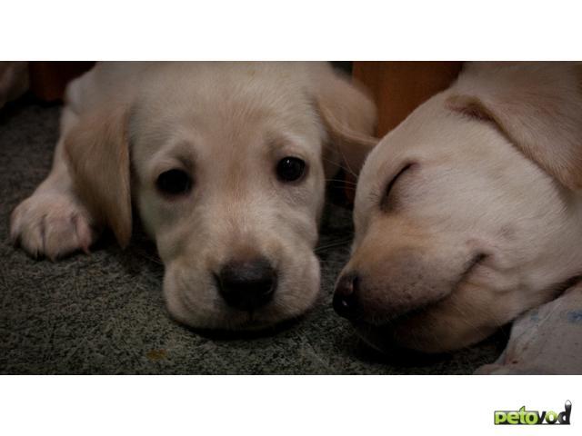Продаю: продам щенка Лабрадора