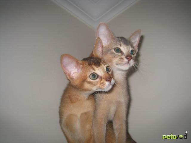 Продаю: Абиссинские котята продаются