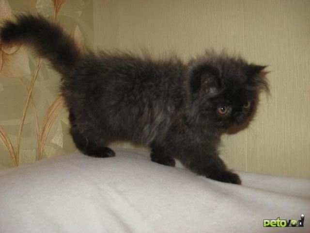 Продаю: Персидский котенок