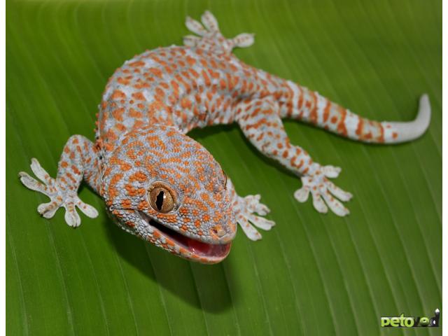 Содержание леопардового геккона